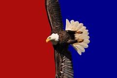 Amerikanischer kahler Adler. Lizenzfreies Stockfoto