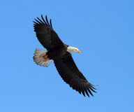 Amerikanischer kahler Adler Stockfotos