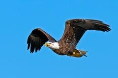 Amerikanischer kahler Adler Stockbilder
