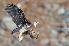 Amerikanischer kahler Adler Stockfoto