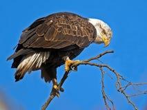 Amerikanischer kahler Adler Lizenzfreie Stockfotos