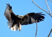 Amerikanischer kahler Adler Stockfotografie