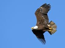 Amerikanischer kahler Adler Lizenzfreies Stockfoto