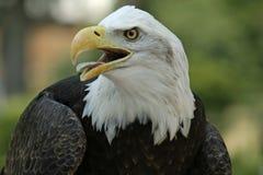 Amerikanischer kahler Adler Stockbild