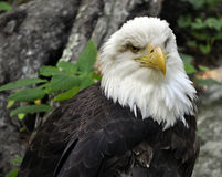Amerikanischer kahler Adler-Abschluss oben Stockbilder