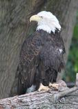 Amerikanischer kahler Adler, der zurück schaut Lizenzfreies Stockbild