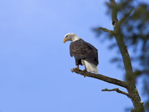Amerikanischer kahler Adler in einem Baum. Stockbilder