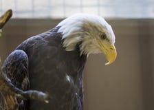 Amerikanischer kahler Adler (Haliaeetus leucocephalus) Lizenzfreie Stockfotografie