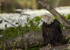 Amerikanischer kahler Adler (Haliaeetus leucocephalus) Lizenzfreies Stockbild