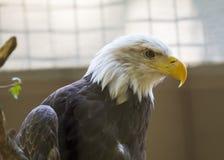 Amerikanischer kahler Adler (Haliaeetus leucocephalus) Stockbild