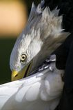 Amerikanischer kahler Adler (Haliaeetus leucocephalus) putzt Heck Lizenzfreies Stockbild