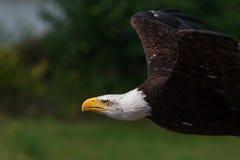 Amerikanischer kahler Adler im Flug Stockbild