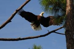Amerikanischer kahler Adler im Flug Lizenzfreies Stockbild