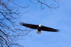 Amerikanischer kahler Adler im Flug Lizenzfreie Stockfotos