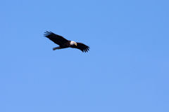 Amerikanischer kahler Adler im Flug Lizenzfreie Stockbilder