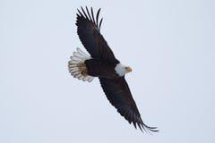 Amerikanischer kahler Adler im Flug Stockfoto