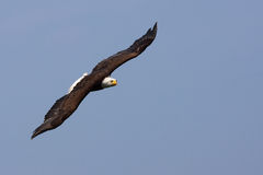 Amerikanischer kahler Adler im Flug Stockbilder