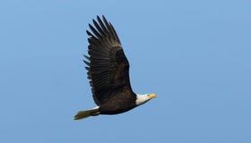 Amerikanischer kahler Adler im Flug Stockfotografie