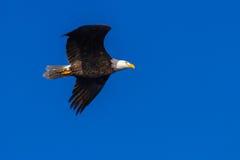Amerikanischer kahler Adler im Flug Lizenzfreie Stockfotografie