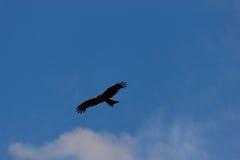 Amerikanischer kahler Adler im Flug Stockfotos