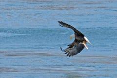 Amerikanischer kahler Adler innen im Flug mit Fischen Stockfoto