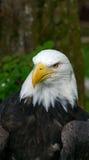 Amerikanischer kahler Adler mit Exemplarplatz Stockfotos