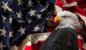 Amerikanischer kahler Adler mit Markierungsfahne Stockfotos