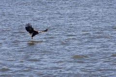 amerikanischer kahler Adler, welche nach Nahrung sucht stockfoto