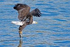 Amerikanischer kahler Eagle Fish Grab Lizenzfreie Stockfotografie