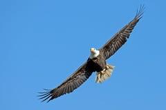 Amerikanischer kahler Eagle In-Flug mit Fischen Lizenzfreies Stockbild
