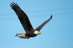 Amerikanischer kahler Eagle In-Flug mit Fischen Lizenzfreie Stockfotos