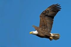 Amerikanischer kahler Eagle In-Flug mit Fischen Lizenzfreie Stockfotografie