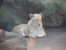 Amerikanischer Löwe schlafend Stockfotos