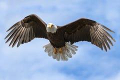 Amerikanischer nationales Sonderzeichen-Weißkopfseeadler mit den Flügeln verbreitet auf sonnigem D Lizenzfreie Stockfotos
