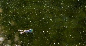 Amerikanischer Ochsenfrosch, der in einen düsteren grünen Teich schwimmt stockfotos