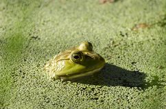 Amerikanischer Ochsenfroschfrosch, Sweetwater-Sumpfgebiete Tucson Arizona stockfotografie