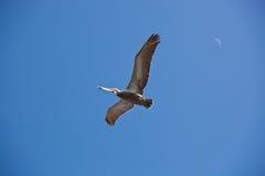 Amerikanischer Pelikan Stockbild