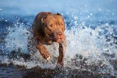 amerikanischer Pitbullterrierhund, der in Wasser läuft stockbilder