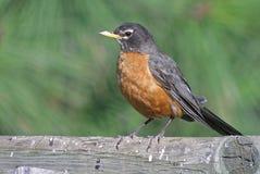 Amerikanischer Robin lizenzfreies stockbild