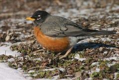 Amerikanischer Robin lizenzfreie stockfotos