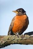 Amerikanischer Robin, der auf einem Zweig sitzt Stockbild