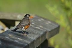 Amerikanischer Robin mit Beere Lizenzfreie Stockfotos