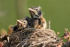 Amerikanischer Robin, Turdus migratorius Lizenzfreie Stockfotografie