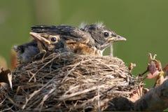 Amerikanischer Robin, Turdus migratorius Stockfotos