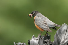 Amerikanischer Robin, Turdus migratorius Lizenzfreies Stockfoto