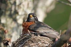 Amerikanischer Robin, Turdus migratorius Lizenzfreies Stockbild