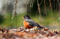 Amerikanischer Robin unter Kirschbaum Lizenzfreie Stockfotos