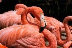 Amerikanischer (rosiger) Flamingo Stockbilder