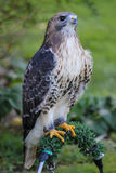 Amerikanischer Rot-angebundener Falke Lizenzfreie Stockbilder