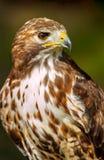 Amerikanischer Rot-angebundener Falke Stockfoto